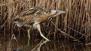Bittern wading in the reedbed