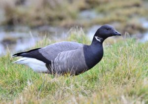 Brent Goose in tuft of grass