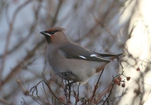 Waxwing in a tree
