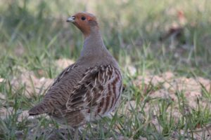Grey partridge from behind, looking out