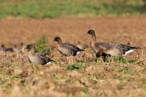 Some pink-footed geese on the ground