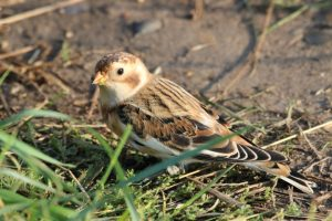 Snow bunting near some grass